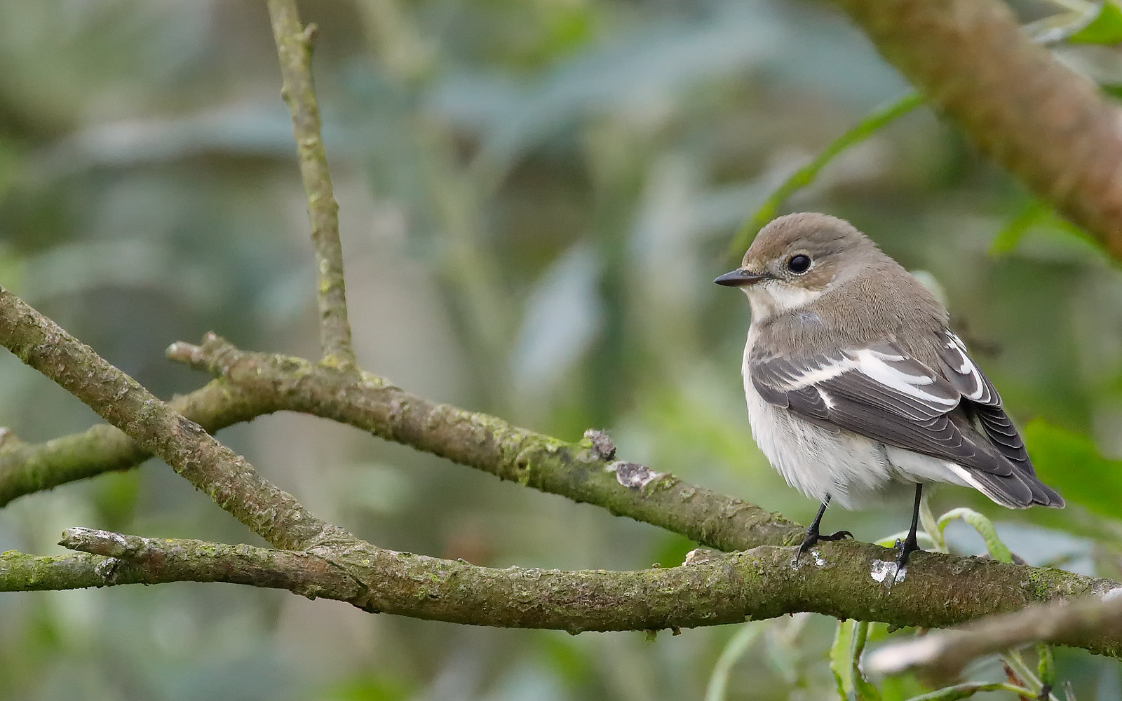 Pied Flycatcher - 1st winter male