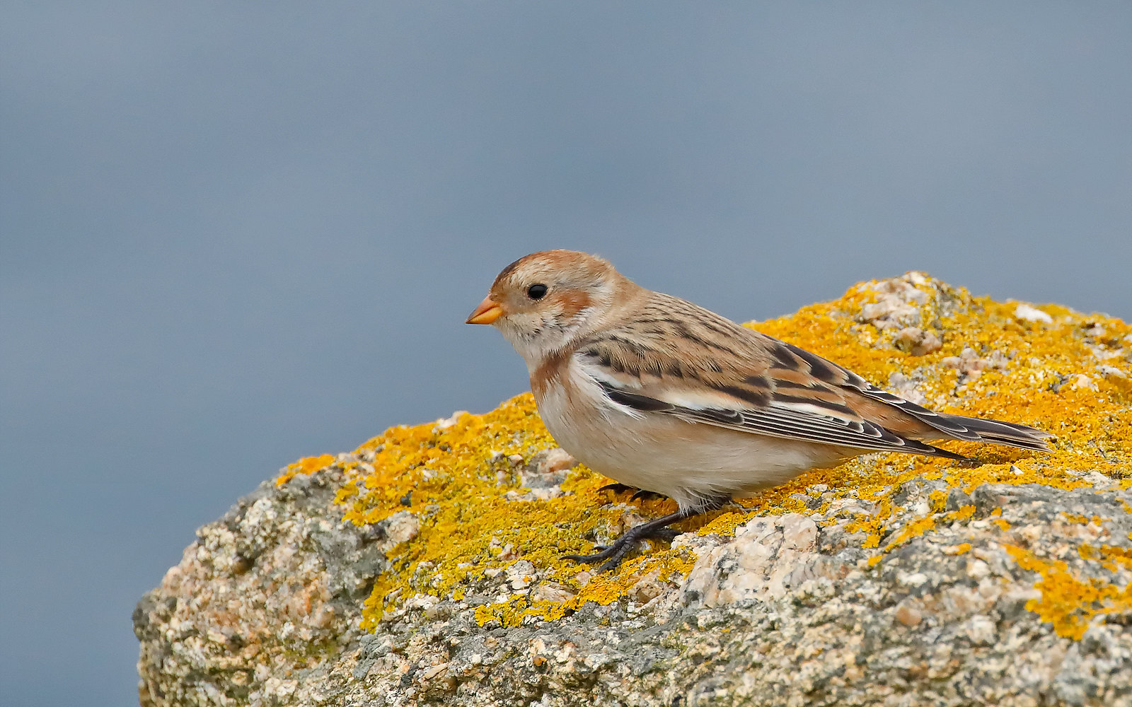 Snow Bunting - female winter