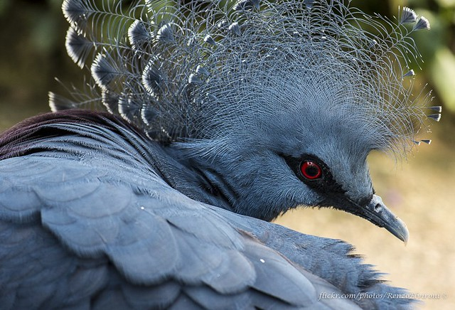 #oiseaux #oiseau #uccello #uccelli #bird #birds #GourasDeVictoria #GouraDeVictoria #VictoriaCrownedPigeons #VictoriaCrownedPigeon #GuraDiVittoria #GureDiVittoria #wildlife #nature #natura