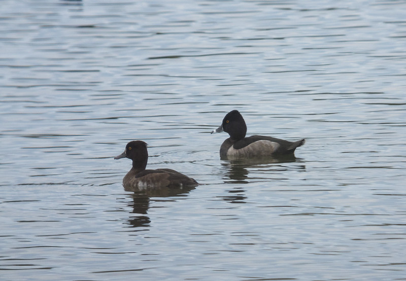 Ring-necked Duck, The Pillinge, MVCP, 5th October 2019