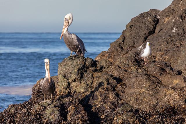 Sunbathing Pelicans