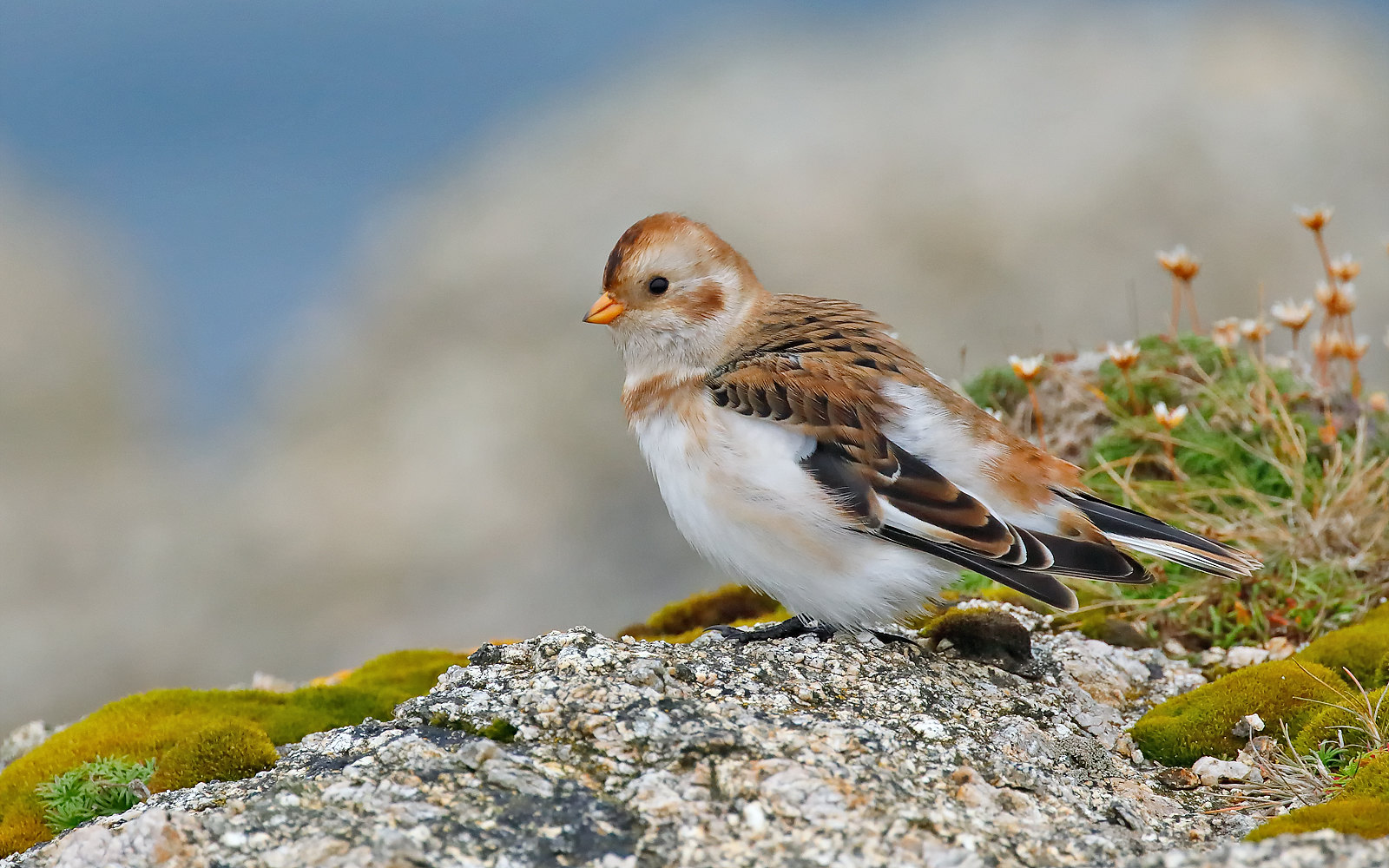 Snow Bunting - male winter