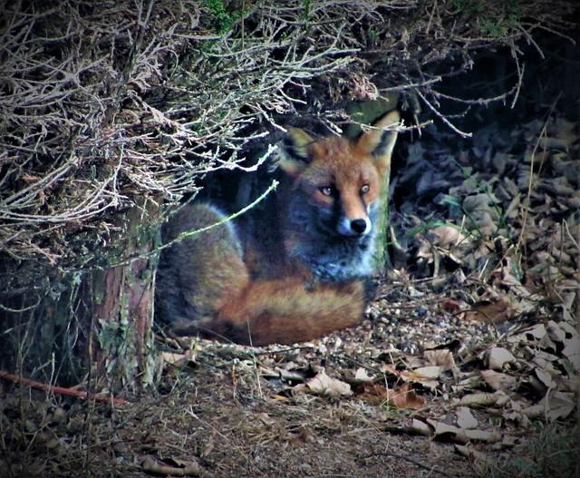 Shard End Fox