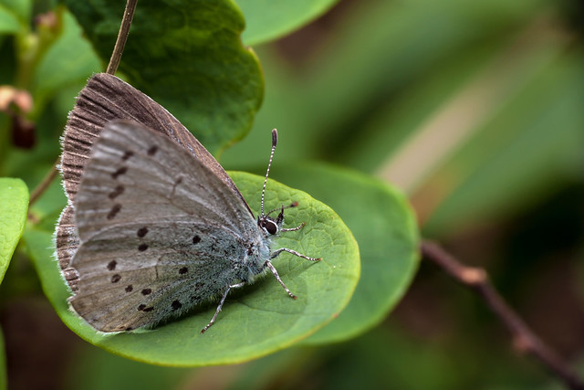 The National Butterfly of Finland - _TNY_9266
