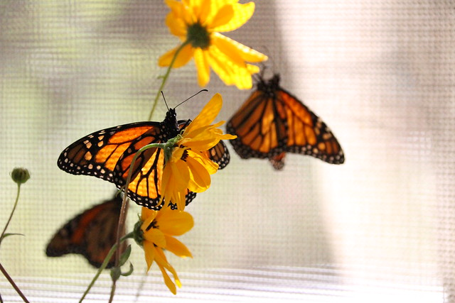 golden wings and yellow petals