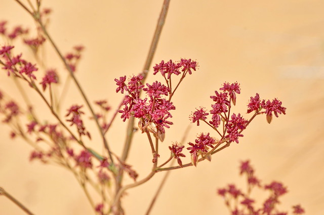 Coral Pink Sand Dunes 33 - Winged buckwheat