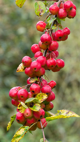 Red: ripening crab apples, Compton Rough