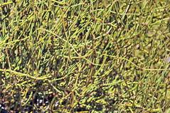 Coral Pink Sand Dunes 29 - Mormon Tea (Ephedra viridis viridis)