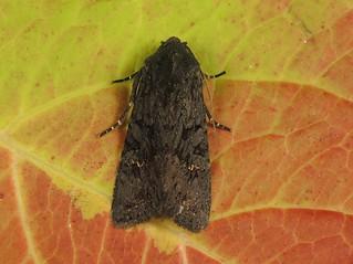 Black Rustic (Aporophyla nigra)