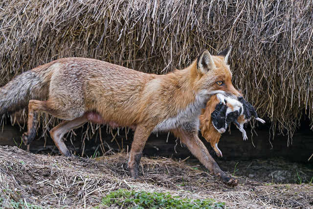 Prood mother fox with her preys