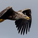 White Tailed Eagle - Mull