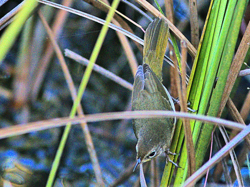Common Yellowthroat 03-20191005