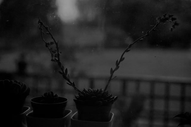 succulents/ window/ dusk b&w