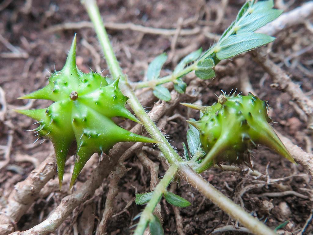 Fruto de tribulus terrestris | Su nombre vulgar es Abrojo. E… | Flickr