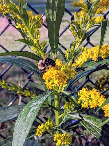 Bee pollinating Goldenrod in morning walk