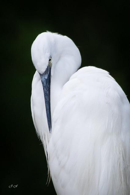 Garzeta comun - White heron - Egretta garzetta
