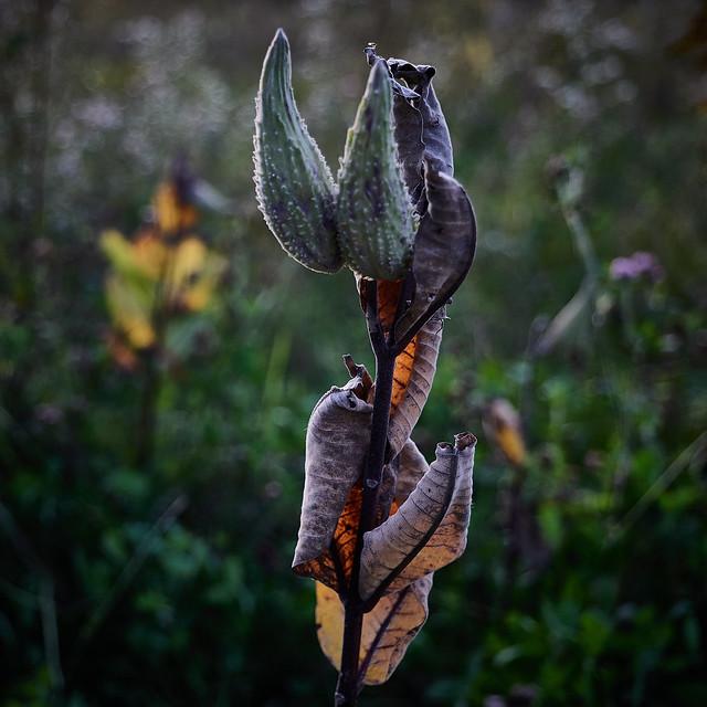 Milkweed, at dusk, 10-4-19