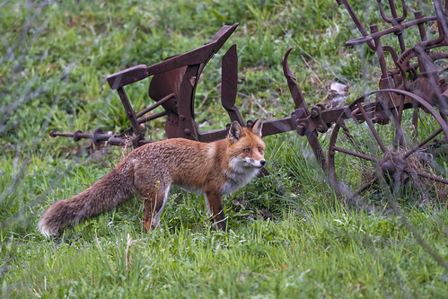 Fox standing near the old cultivator | by Tambako the Jaguar
