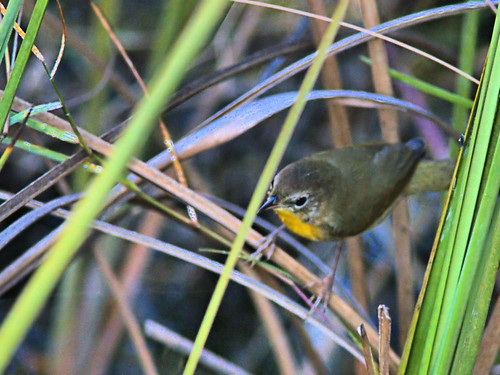 Common Yellowthroat 04-20191005
