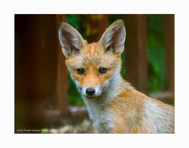 Furry Friends Fox cub