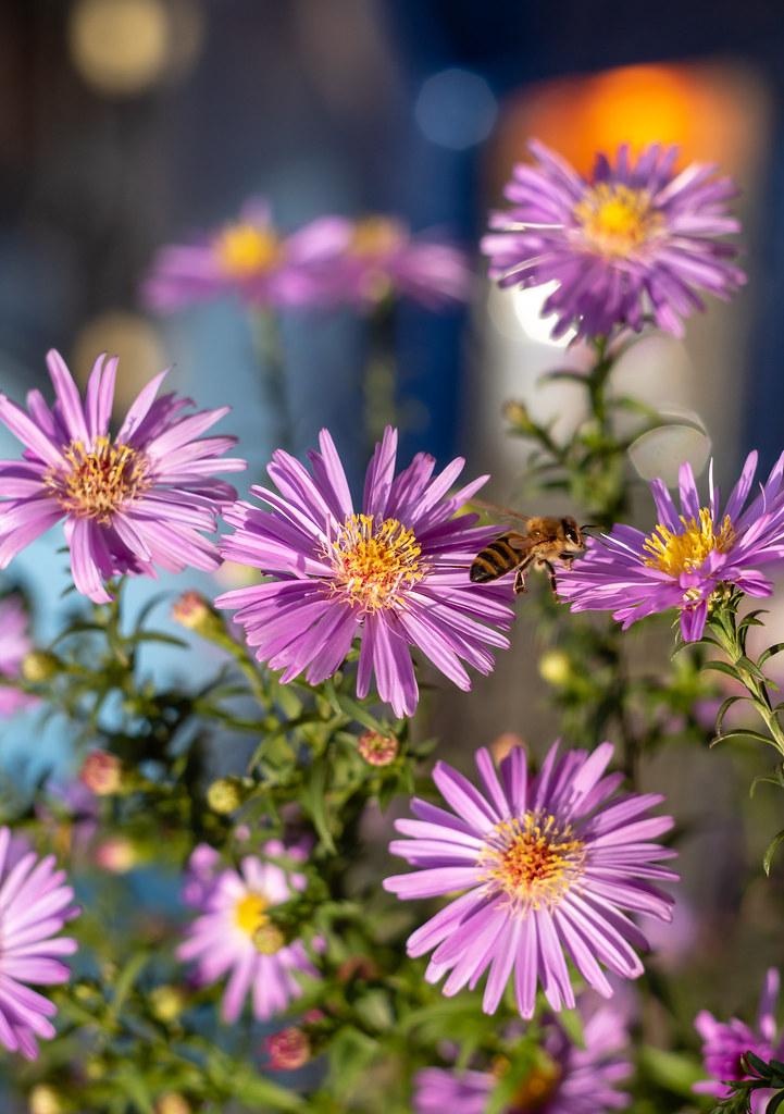 сентябринки_пчела
