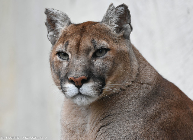 Mountain lion - Zoo Amneville