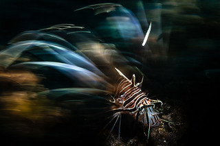 SloMo Lionfish