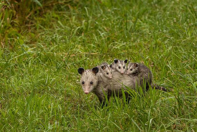 Opossum and joeys