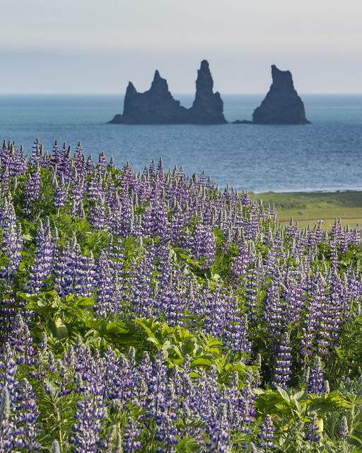 Reynisdrangar with lupins