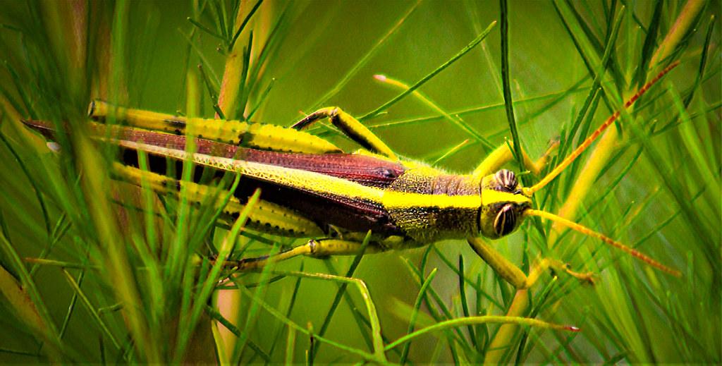2017.08.05.La Chua Trail Grasshopper 2.alt