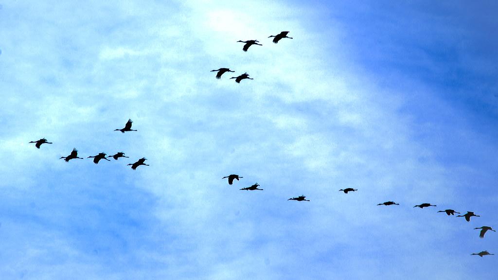 2018.11.17 Sweetwater Wetlands Sandhill Cranes 1.alt