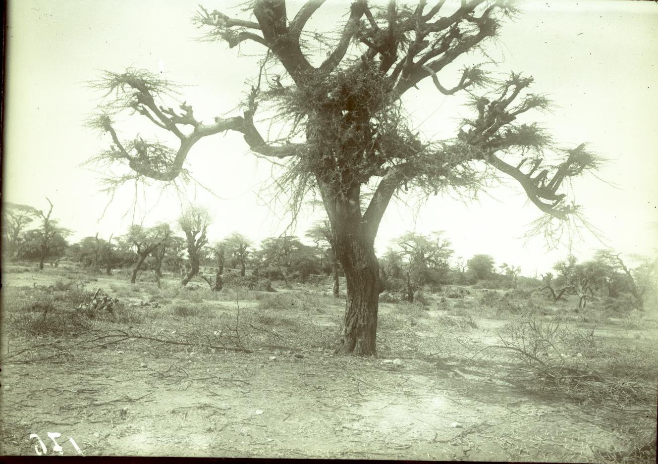 176. Гильдесса. Сухое дерево