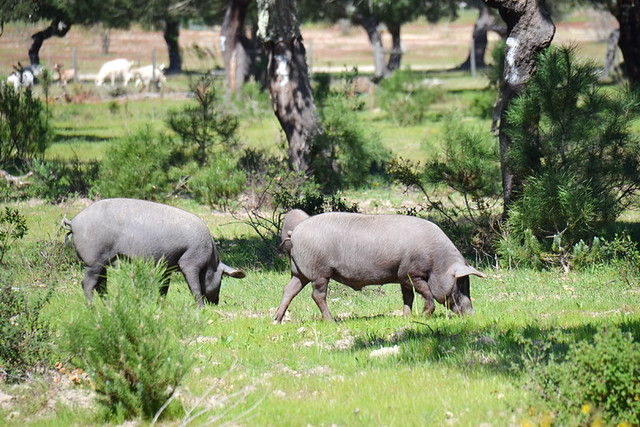 Free roaming Iberian black pigs, Portugal