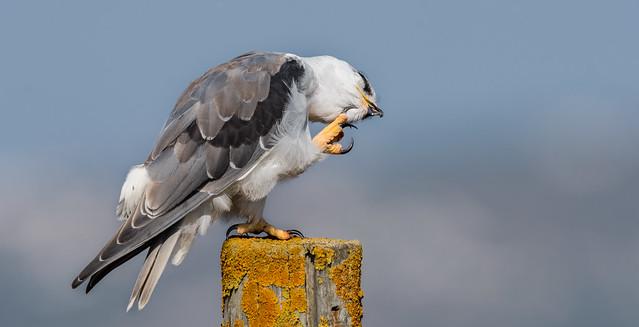 Peneireiro Cinzento | Elanus Caeruleus | Black Shouldered Kite