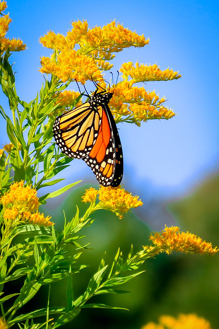 Monarch and Goldenrod