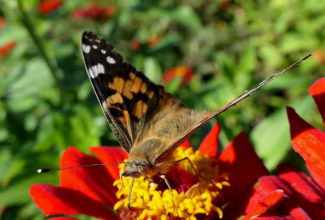 Painted Lady Drinking Nectar