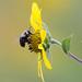 American Bumble Bee