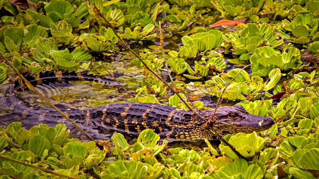 2018.03.11 La Chua Trail Alligator 2 alt