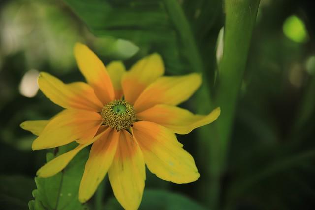Une fleur ensoleillée.....