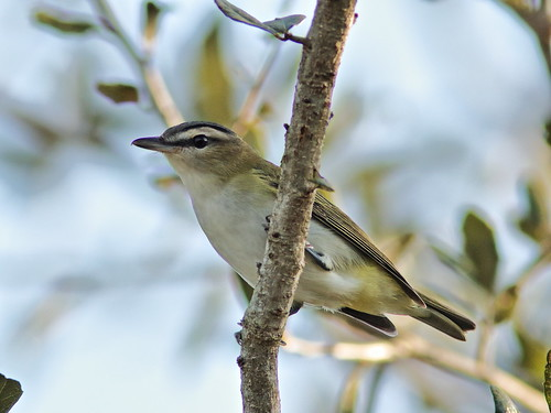 Red-eyed Vireo 01-20191006