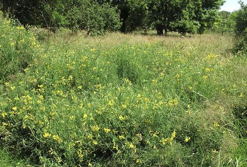 Orchard Meadow - Long-horned bee habitat
