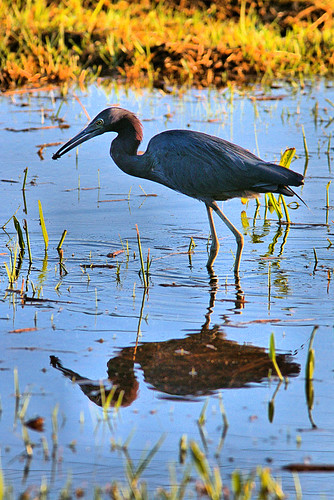 Little Blue Heron 01-20191006