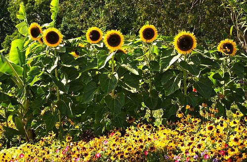 leszekwronski dmcg85 oakville flower flowers sunflowers sun park walkway colorful green yellow view landscape panasoniclumixdmcg85 panasonicdmcg85 panasonicg85 panasonic lumixdmcg85 lumixg85 lumix mft m43 1260mmf3556