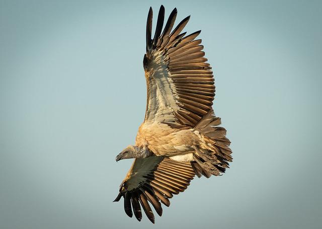 White-backed Vulture f Mara Bush Camp 5th Aug 19 1DXII