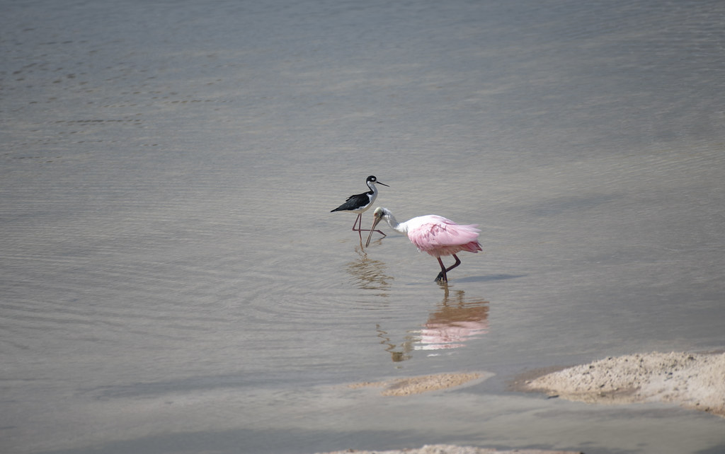 Black Necked Stilt and Roseate Spoonbill