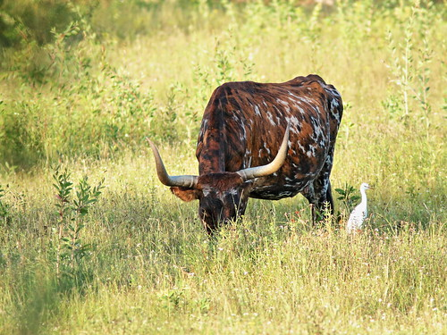 Longhorn cow with Cattle Egret 2-20191006