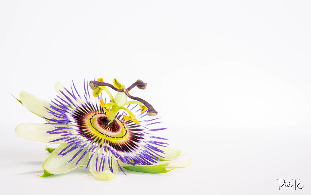 Where the Passion Flower grows