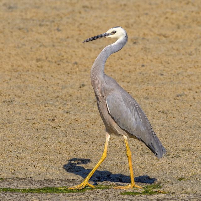 a dandy white-faced heron