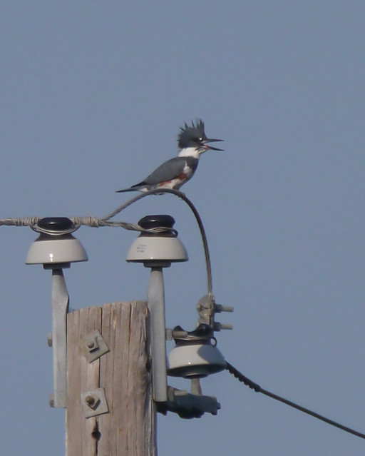 Belted Kingfisher - 1