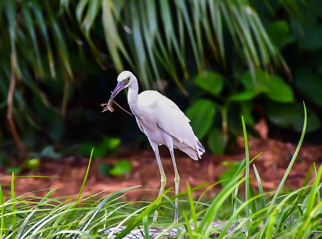 Egret with lizard.